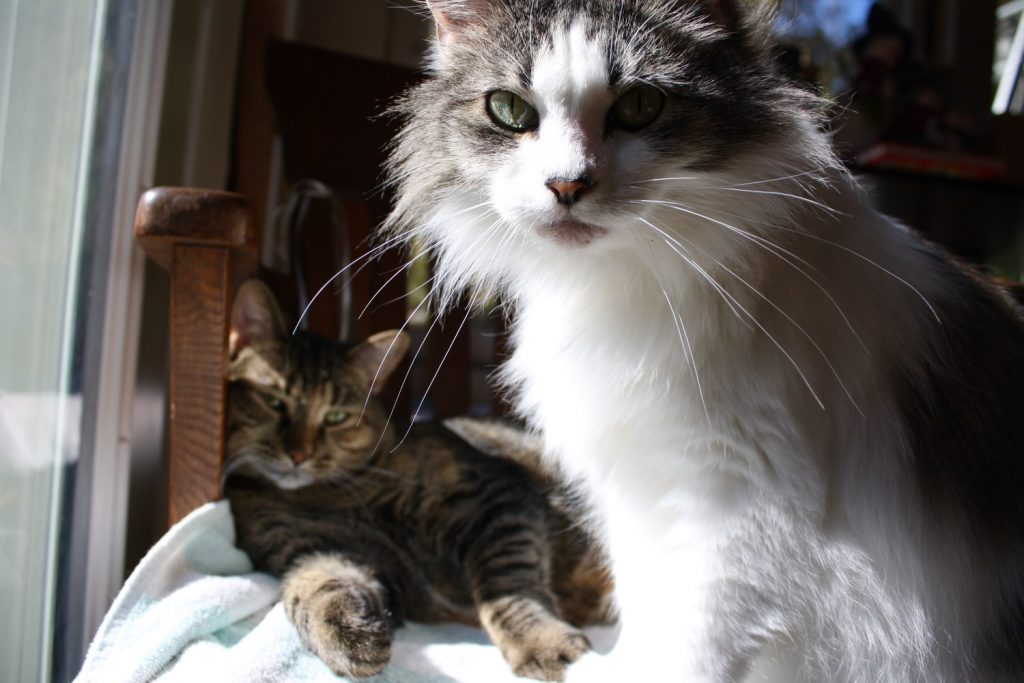 1 year vs 3 year rabies vaccine for cats