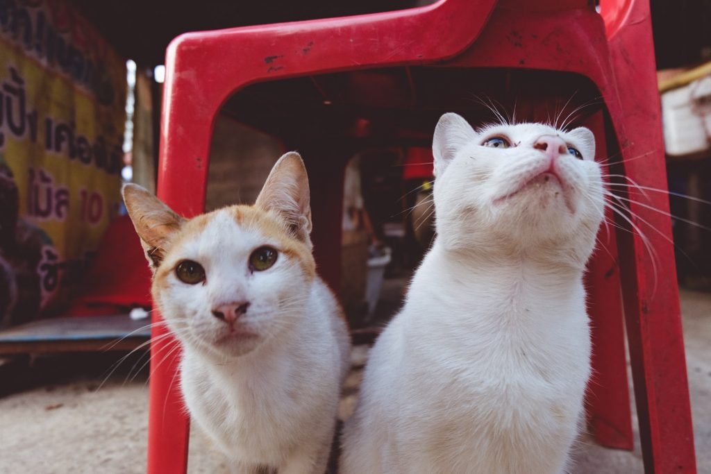 Do cats copy each othe