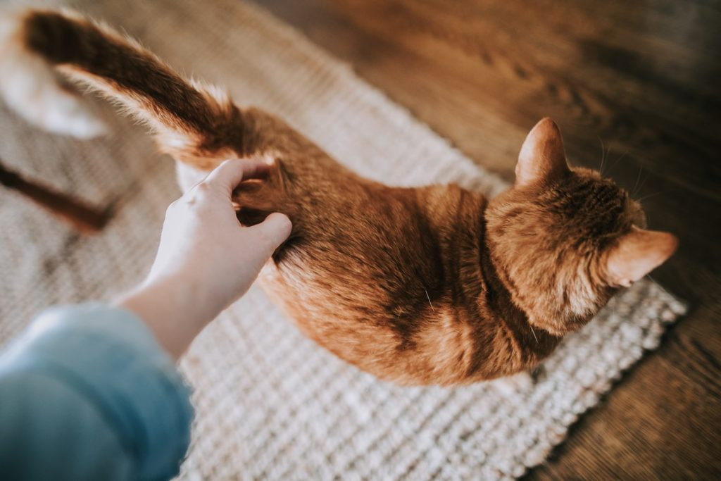 Why do cats like their tail pulled