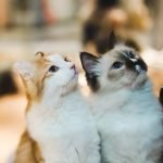 Do Cats Copy Each Other? (Explained)