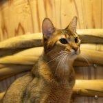 My Cat Ate String A Week Ago! (Helpful Tips)