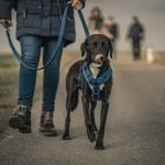 Can a Dog Wear a Collar and a Harness? (Solved!)
