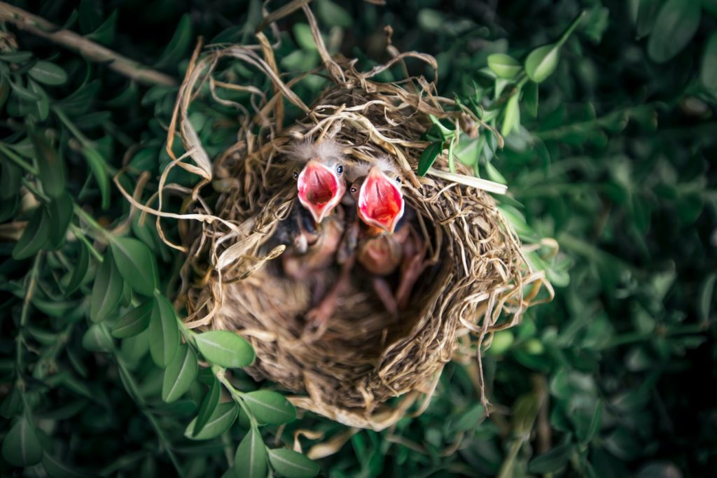 where do baby birds go when they leave the nest