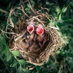 Where Do Baby Birds Go When They Leave The Nest? (Explained!)