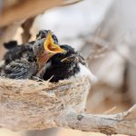 Do Mother Birds Sleep In The Nest With Their Babies? (Answered!)