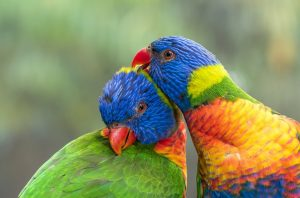do birds mate with their siblings