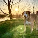 Why Is Dog Stomach Gurgling Eating Grass? (Answered!)
