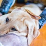 Why Does My Dog Lay His Head Over My Neck? (Explained!)