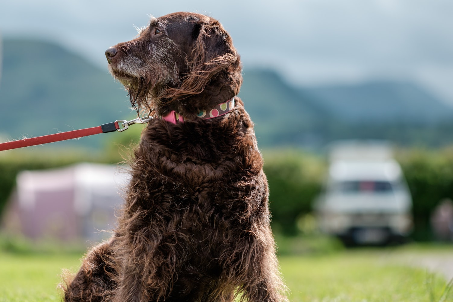 is clary sage safe for dogs
