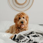 Why Does My Dog Lay In My Spot On The Bed?  (Explained!)