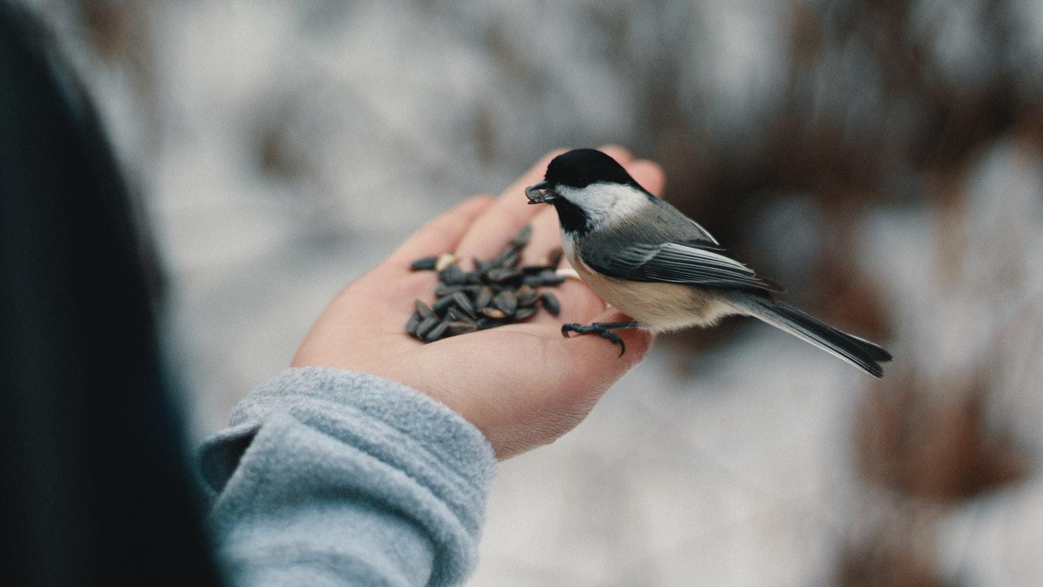do birds eat sunflower seeds whole