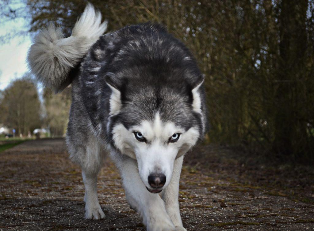 dog growls when playing tug of war