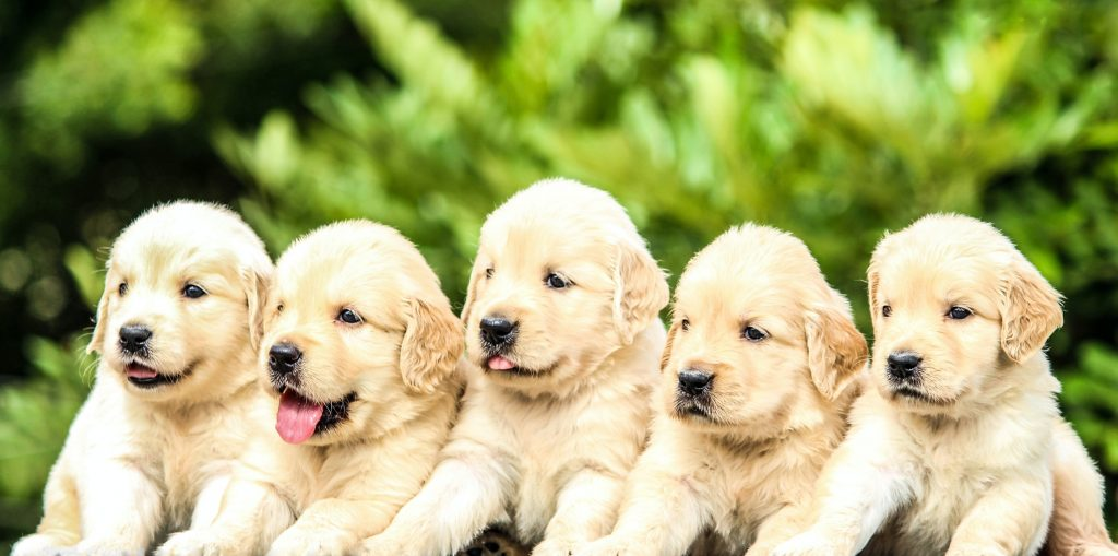 can puppies be missed on ultrasound