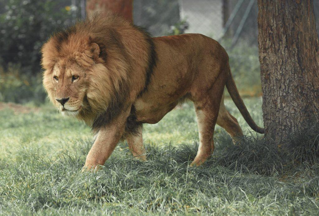 can a dog kill a lion