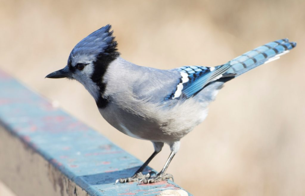 can birds eat grits