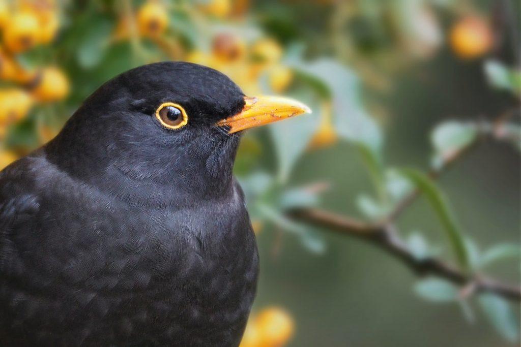 can birds eat cherries