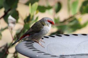 do birds eat yew berries