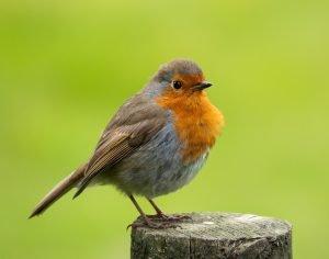 do birds eat fleas