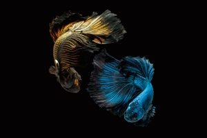 Why does betta fish have clamped fins