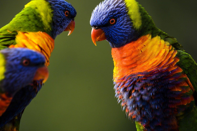 do birds play fight