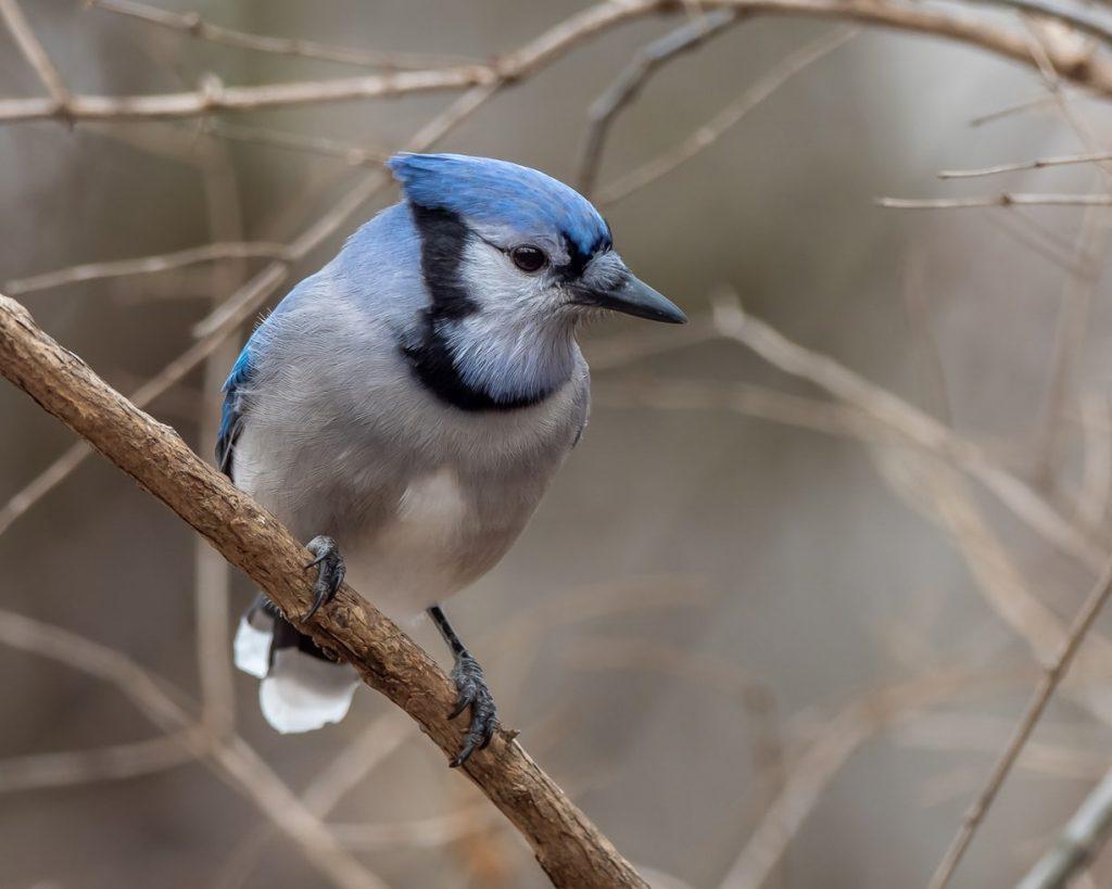 Do birds eat tent caterpillars