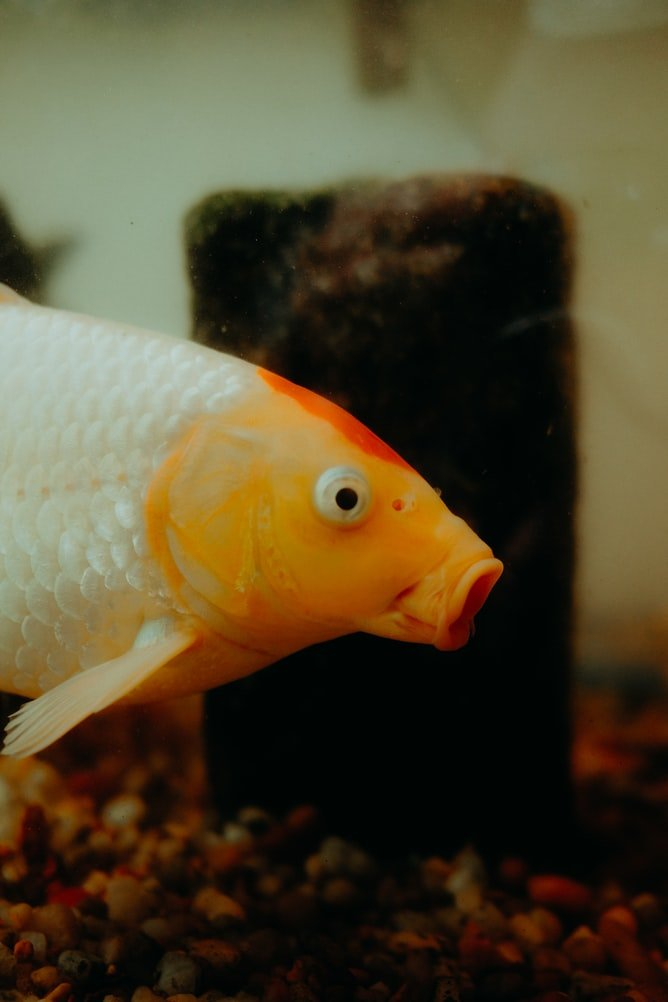 can a fish survive without a tail