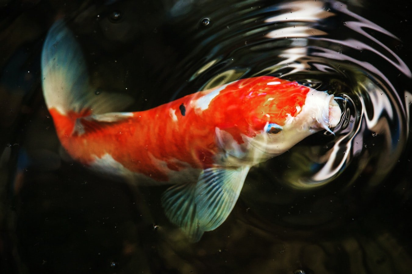 can koi fish live in tank