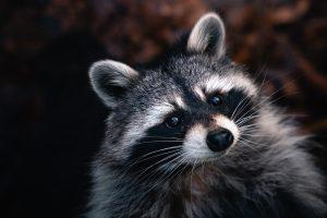 cat vs raccoon