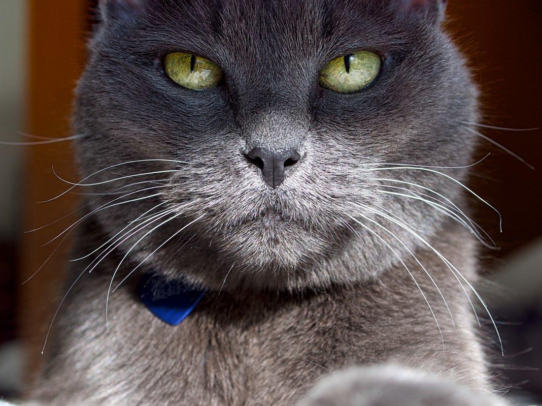 Do female cats prefer male humans