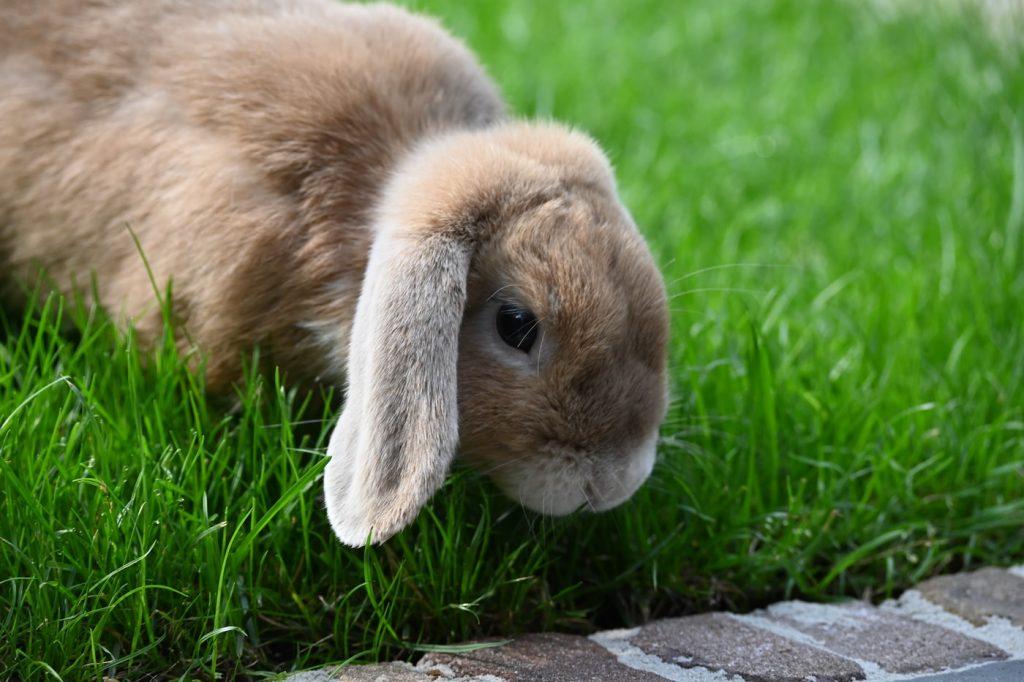 Can Rabbits Eat Pea Shoots