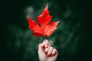 can rabbits eat maple leaves