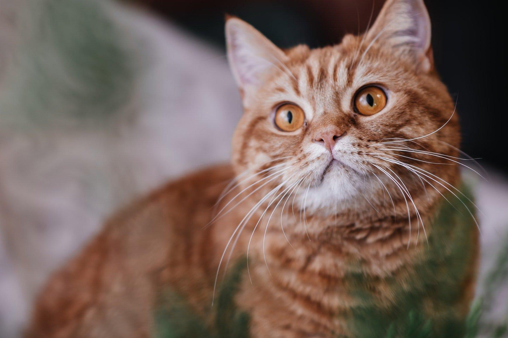 Can cats eat chorizo