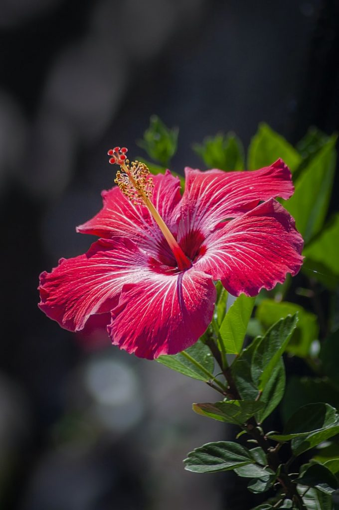 Can rabbits eat hibiscus flowers