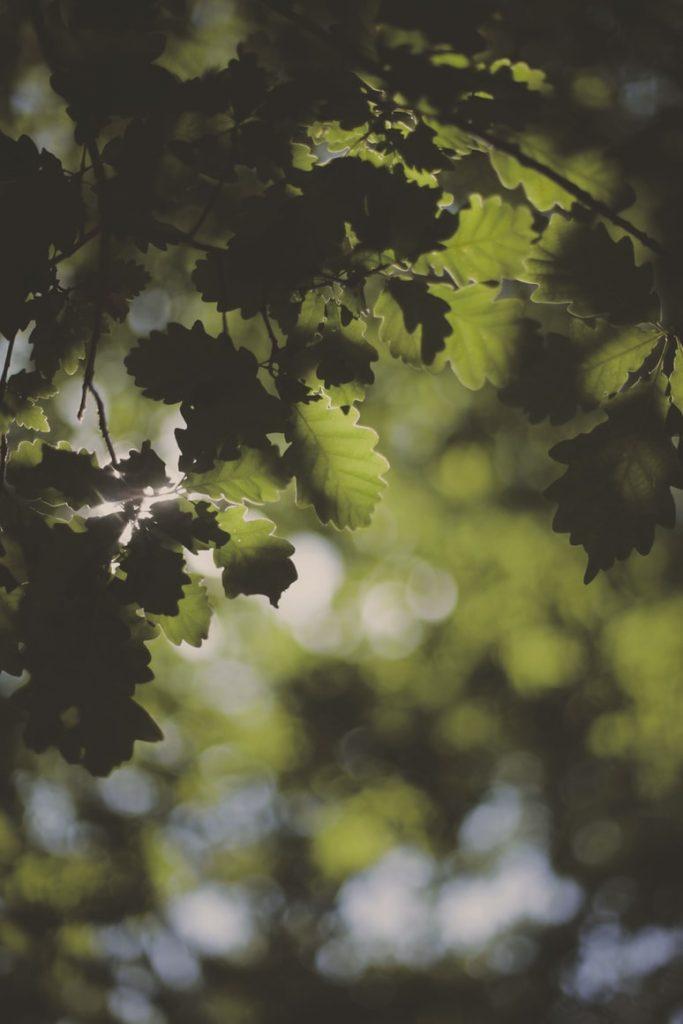 Can rabbits eat oak leaves
