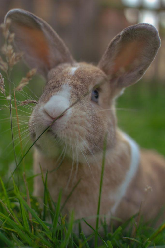 Do rabbits eat hollyhocks