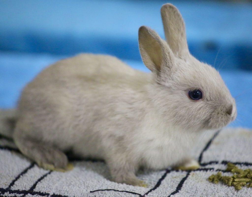 Do rabbits eat weigela