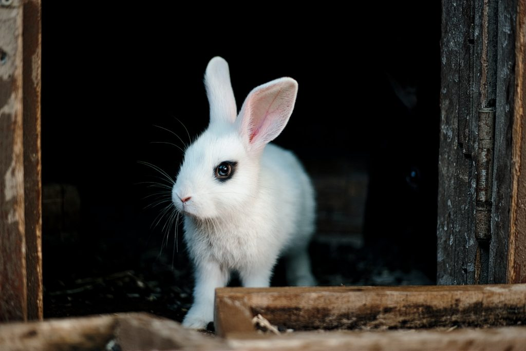 Does rabbit pee smell