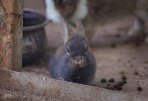 Can rabbits eat escarole