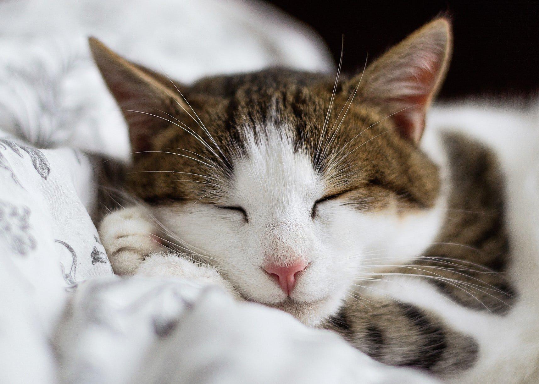cat meowing in sleep