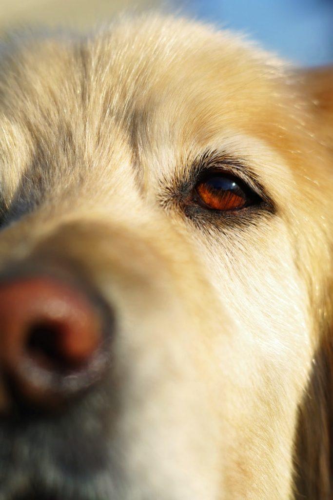 dog crusty nose one side