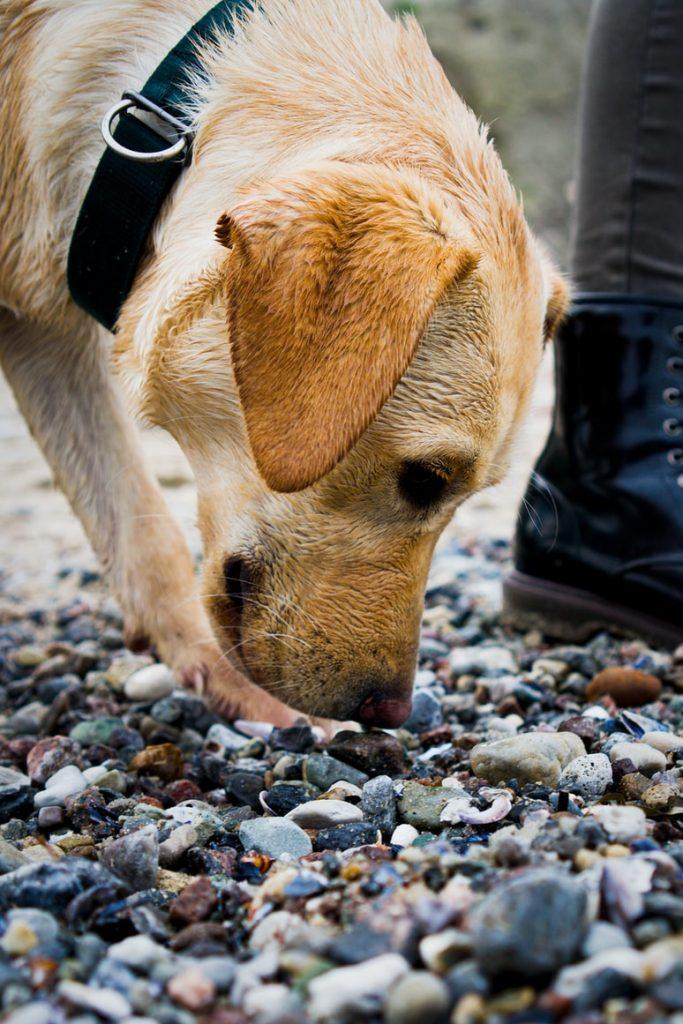 Does dog smegma smell