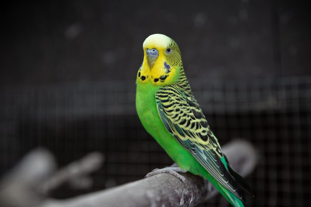 Can I put my budgie's cage outside